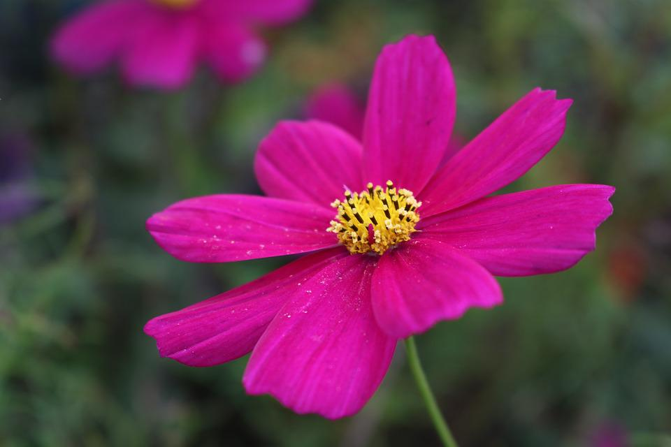 Cosmos flower pink free photo on pixabay cosmos flower pink summer plant mightylinksfo Image collections