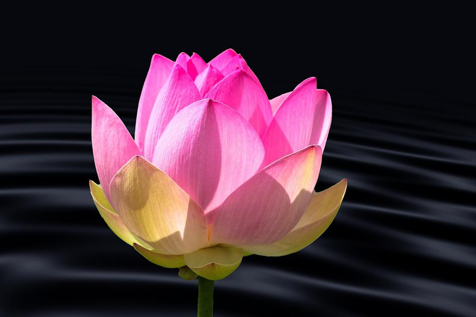 lotus, blossom  free images on pixabay, Natural flower