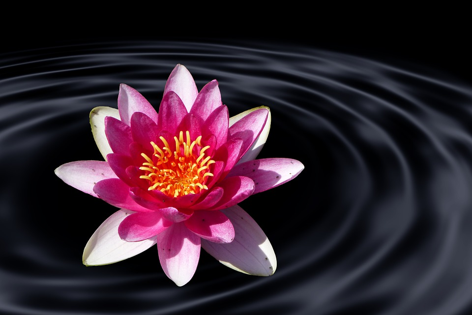 Lotus flower water lily free photo on pixabay lotus flower water lily water wave lotus blossom mightylinksfo