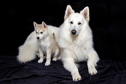 Bonito, Doce, Cão, Animais
