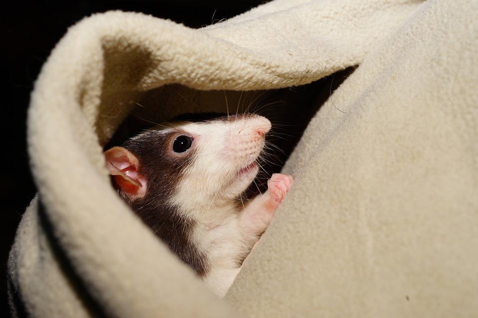 Rat, Comfortabele, Aanhalig, Kaputze, Hoofd, Kleur Rat