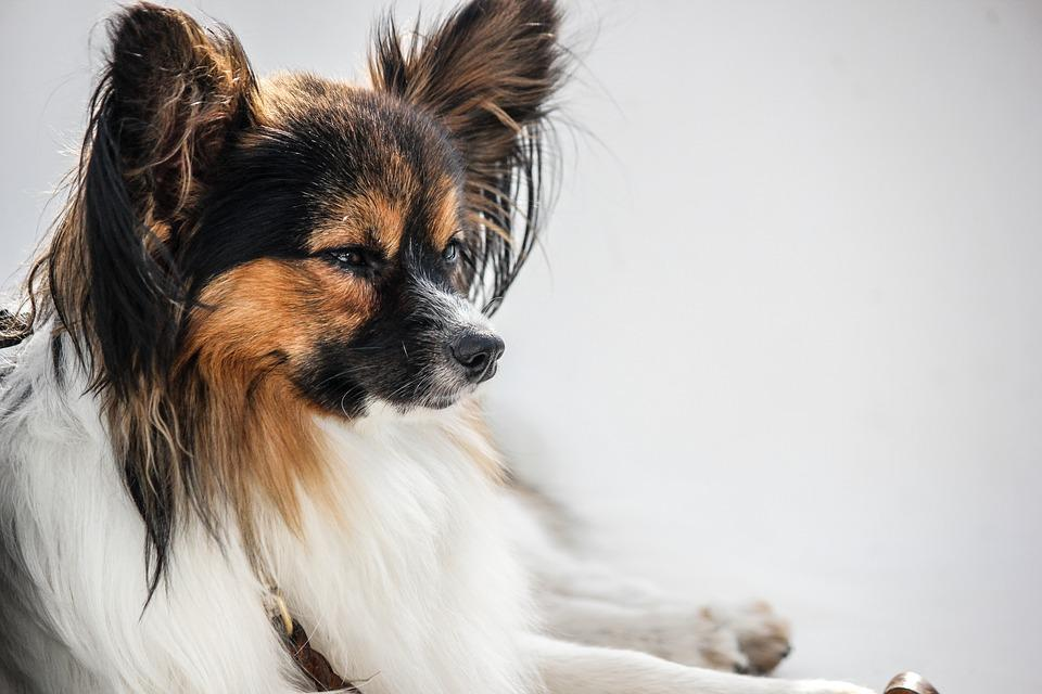 Papillon white background dog free photo on pixabay papillon white background dog animal pet small dog voltagebd Gallery