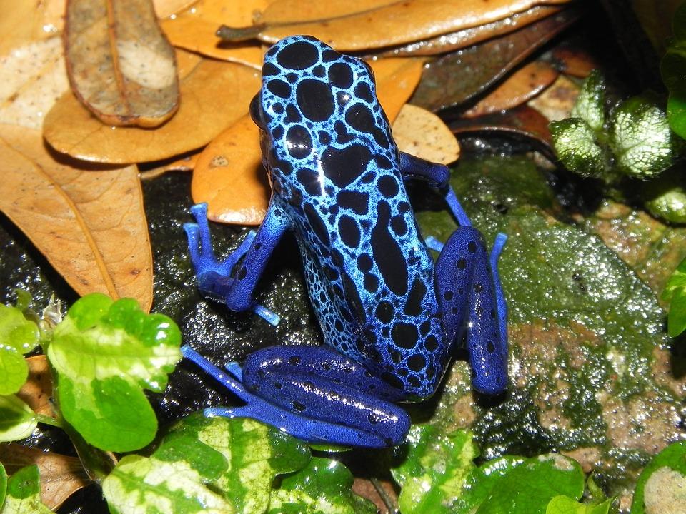 Poison, Dart, Frog, Amphibians, Blue Skin
