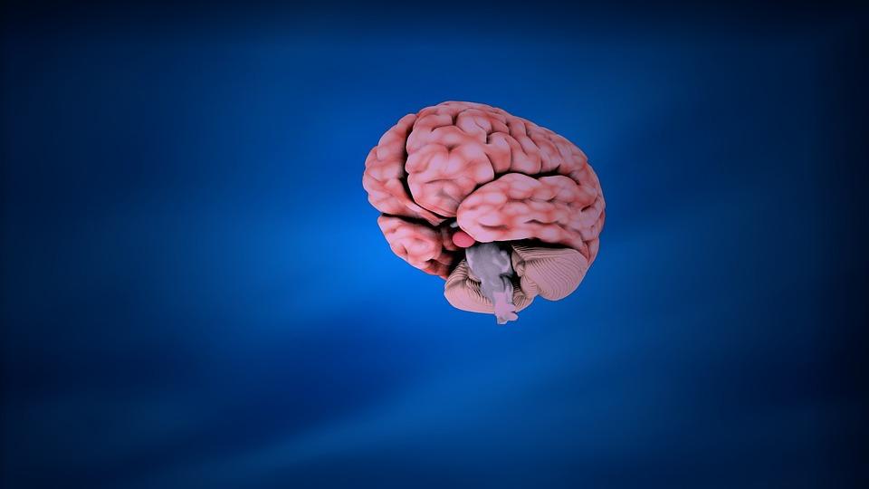 Education Brain Anatomy · Free image on Pixabay