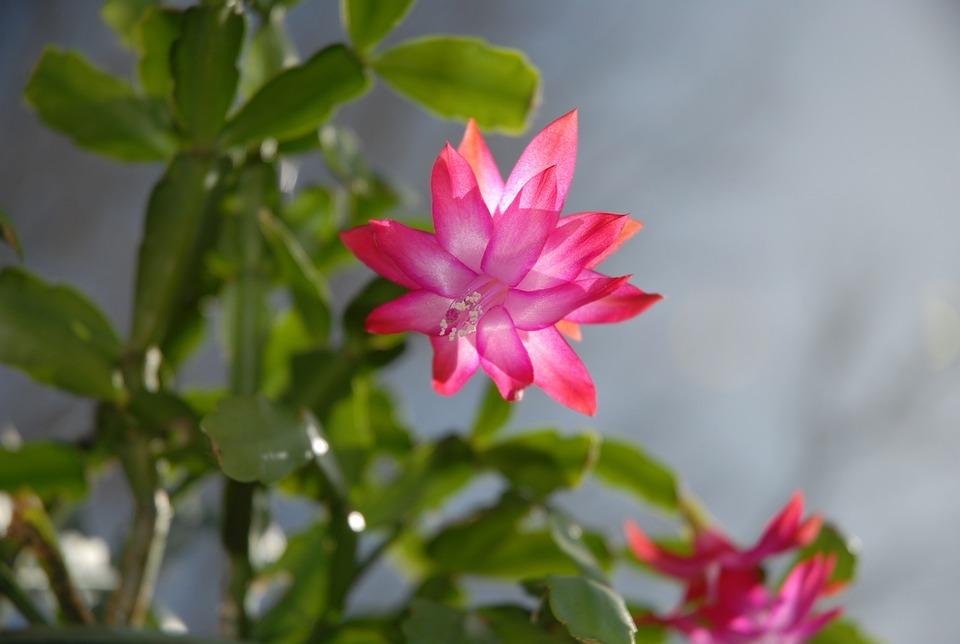 Succulent, Christmas Plant, Cactus, Flower