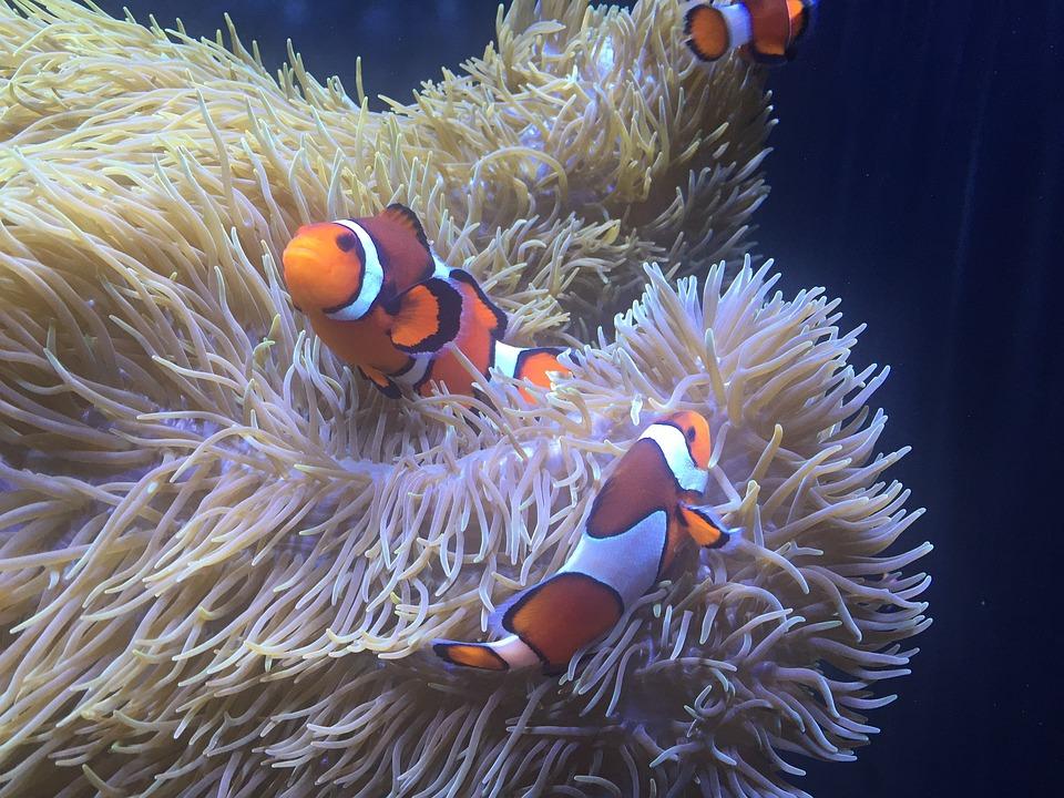 Aquarium, Poisson Clown, Anémone
