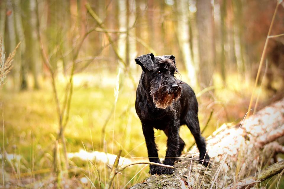 Miniature Schnauzer, Dog, Dog Photography, Forest