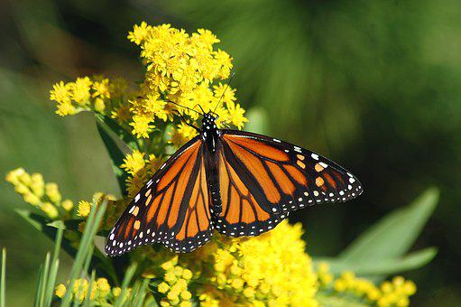 Monarch Butterfly Migration Monarch Butter
