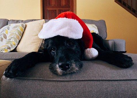 Dog, Christmas, Pet, Christmas Dog, Xmas