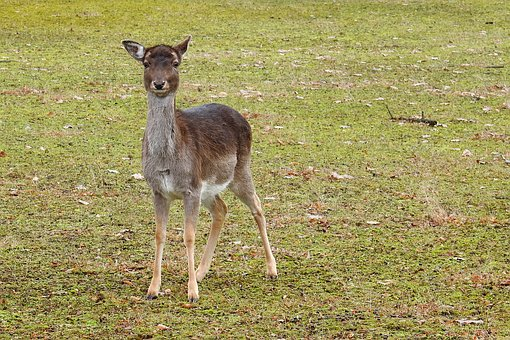 Reh im wald kostenlose bilder auf pixabay for Capriolo animale