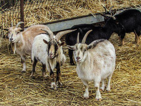Goats Farm Animal Agriculture Domestic Liv