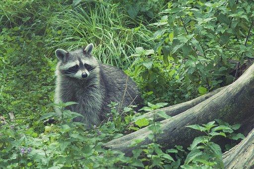Raccoon, Wild, Furry, Animal World