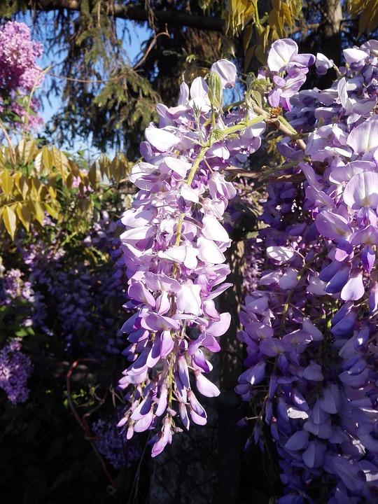 Purple Acacia Spring Flower Free Photo On Pixabay