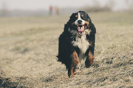 Bernese Mountain Dog, Berner Sennen