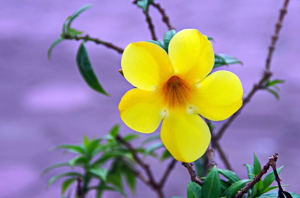 free photo flower, yellow, tropical flower  free image on, Natural flower