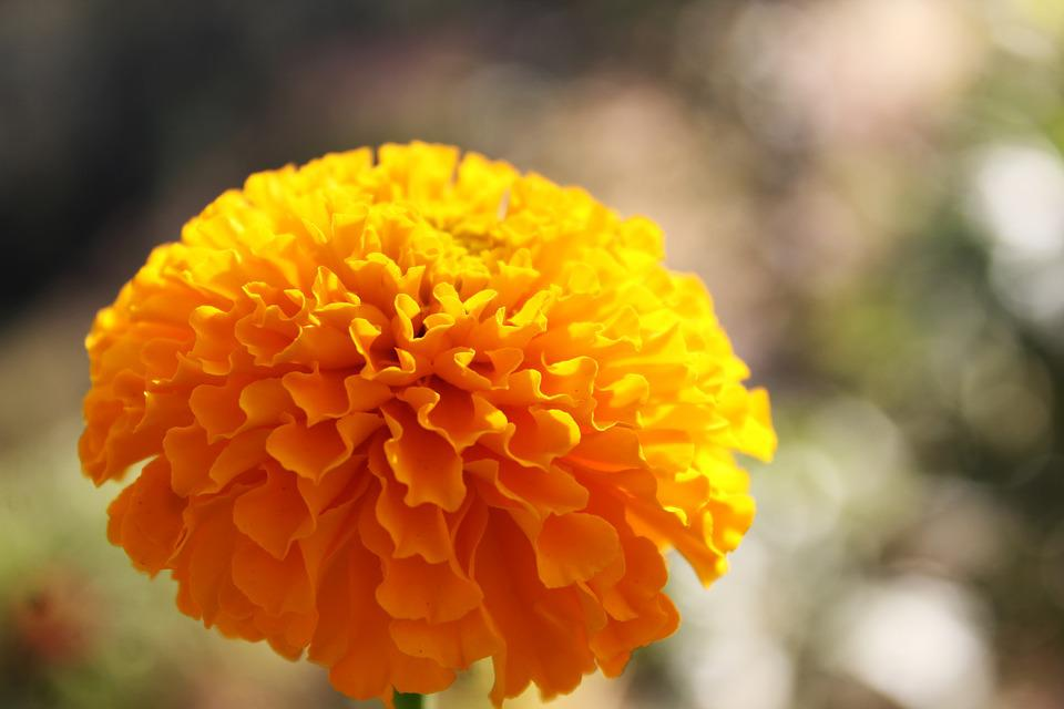 Marigold - Free images on Pixabay