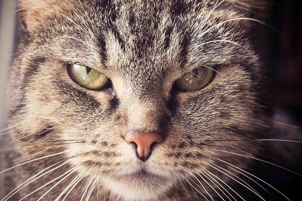 Cat, Animal, Pet, Cat'S Eyes, Portrait, Domestic Cat