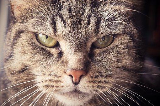 猫, 動物, ペット, 猫の目, 肖像画, 国内の猫, ネコ, サバ, 猫の顔