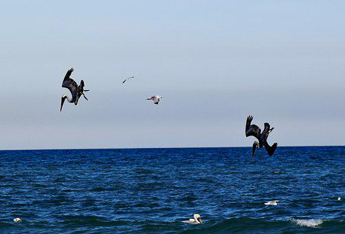 Pelicans, Ocean, Hunting, Diving, Bird
