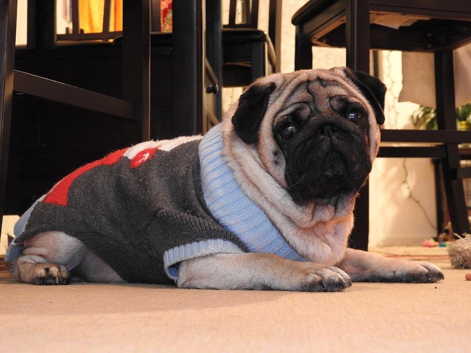 Mops Bilder Weihnachten.Weihnachten Hund Mops Kostenloses Foto Auf Pixabay