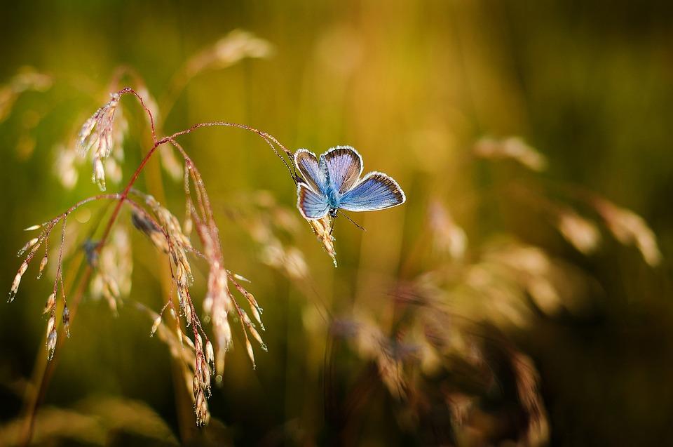 Papillon, Insectes, Ailes Bleues, Couleur, Nature, Été
