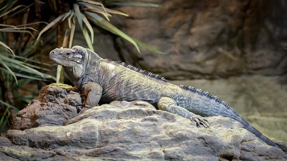 Iguanes, Rhinoceros Iguana, Cyclura Cornuta, Reptile
