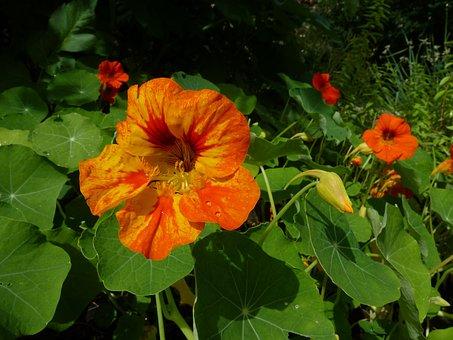 Tropaeolum Majus, Kapucínka, Kvetina
