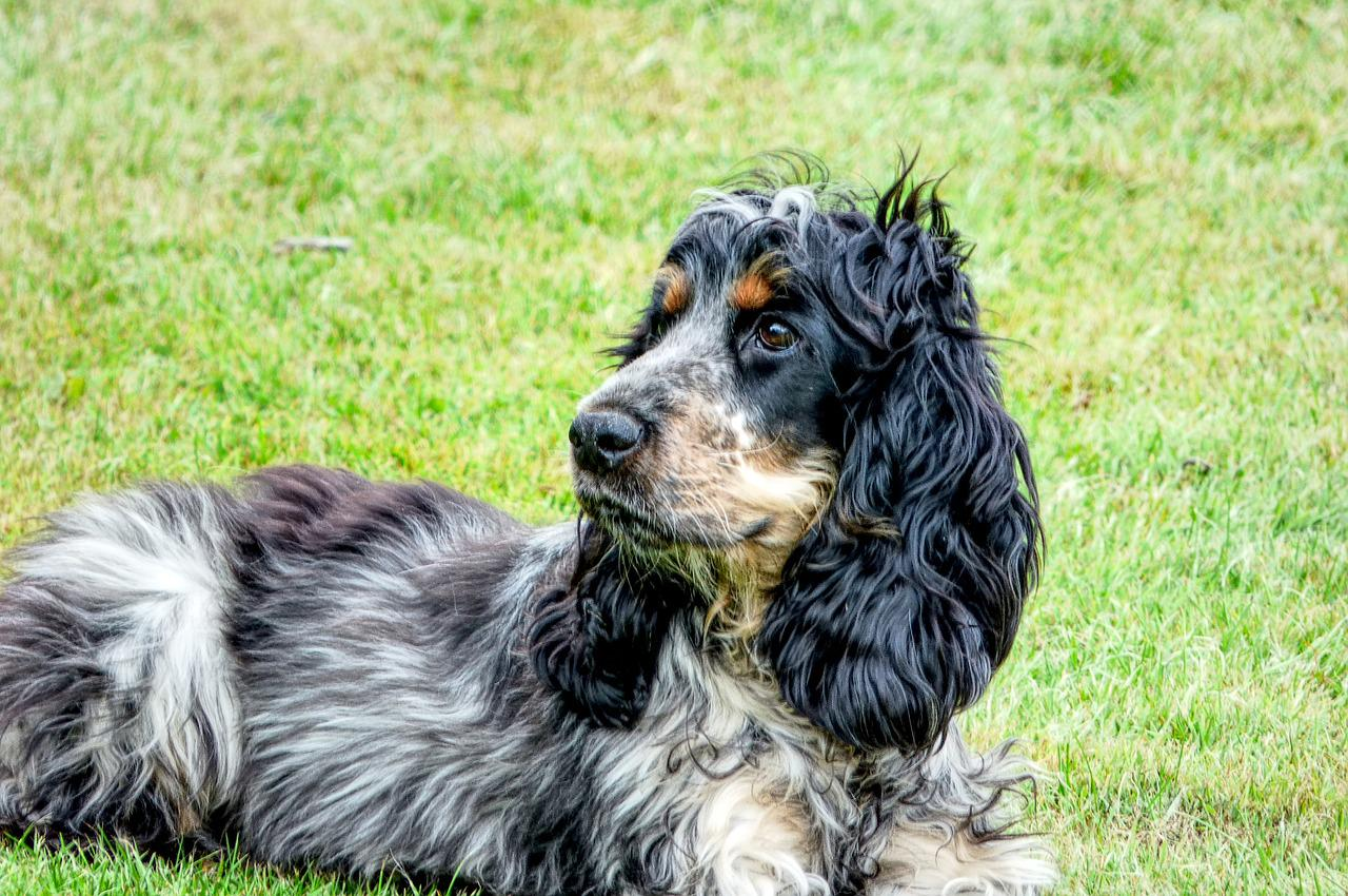 Спаниель собака фото взрослой