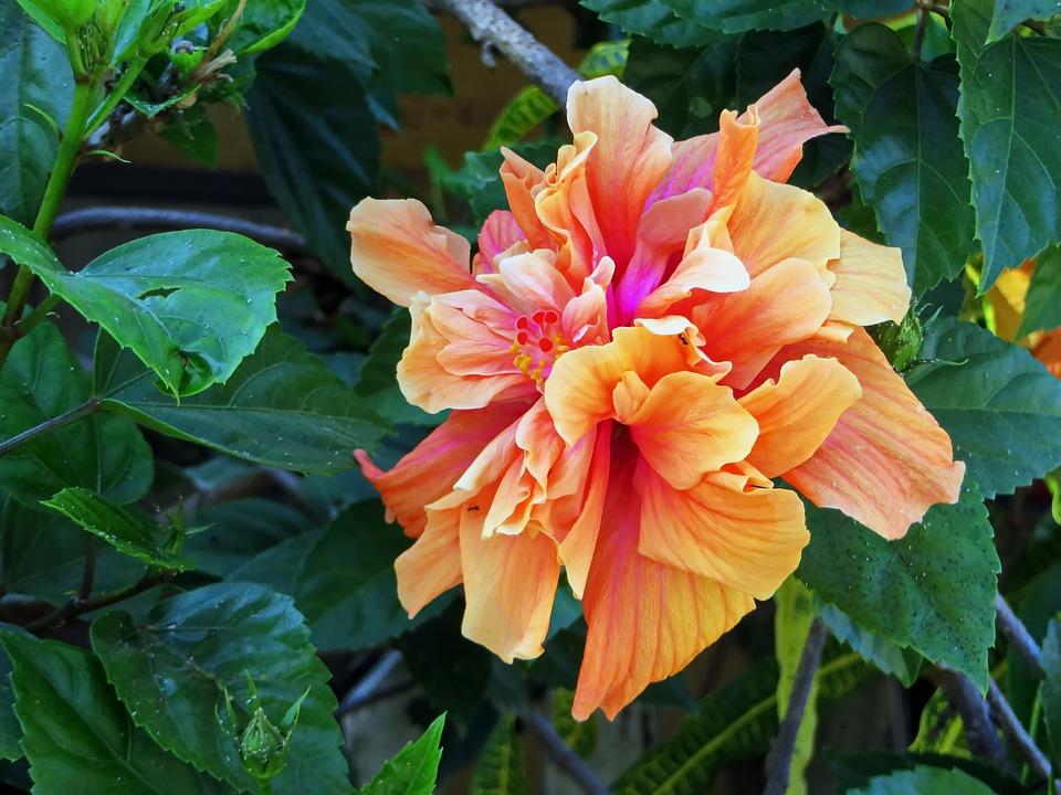 double hibiscus orange  photo  pixabay