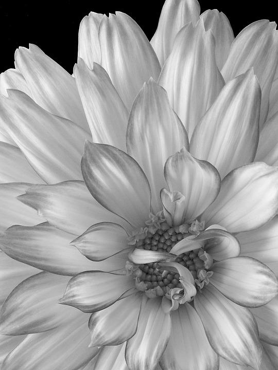Dahlia Bunga Hitam Dan Putih Foto Gratis Di Pixabay