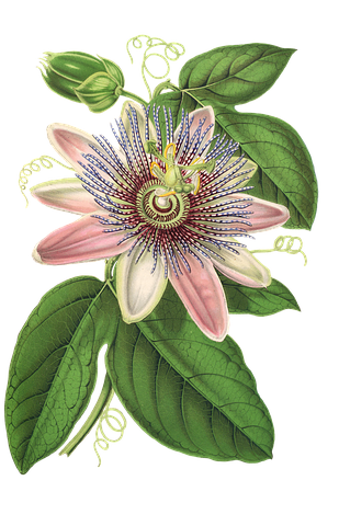 https://cdn.pixabay.com/photo/2017/01/01/09/43/passion-flower-1944249__480.png