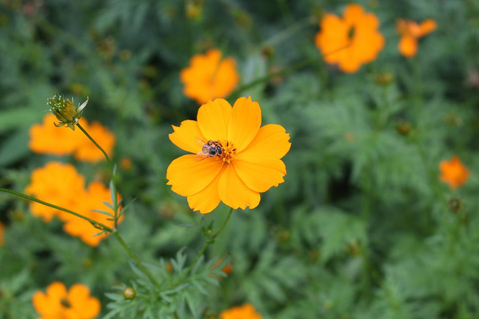 Yellow cosmos flower free photo on pixabay yellow cosmos flower yellow orange bee pollination mightylinksfo