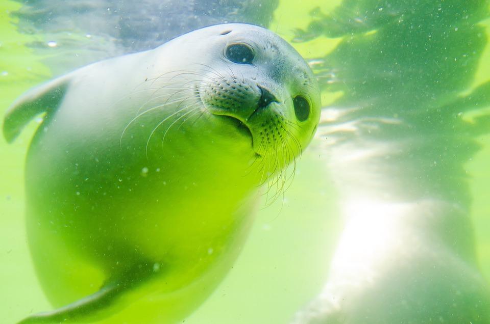 Crawl, Sigillo, Mare Del Nord, Robbe Bianco, Baby Seal