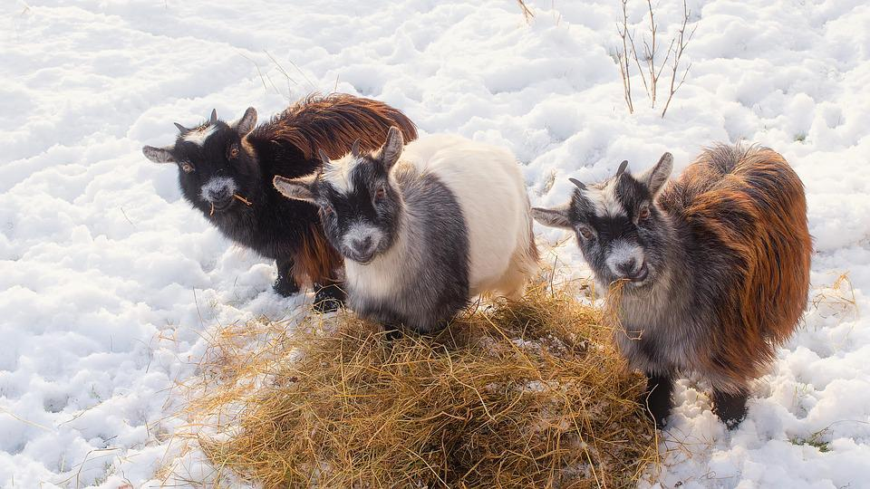 Geiter, Dyr, Husdyr, Søt, Trio, Hay, Halm, Vinter, Snø
