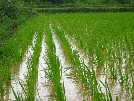 Rice Farm, Farming, Agriculture, Farm