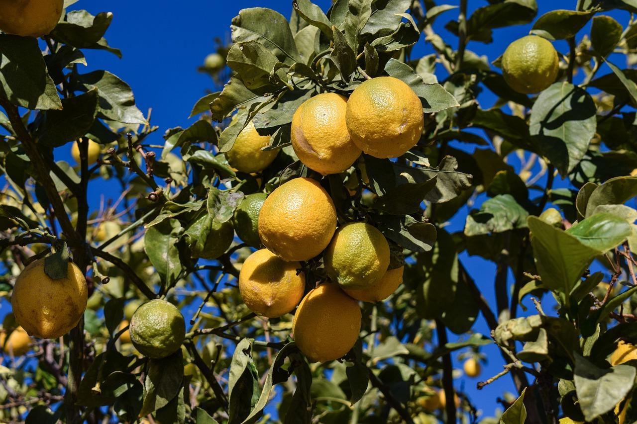 Дерево на котором растут лимоны картинка