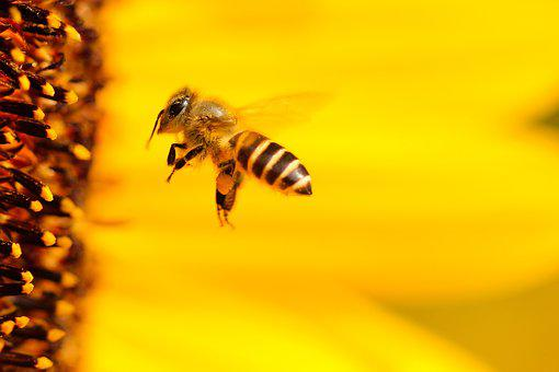 Bee, Insect, Sunflower, Yellow, Summer