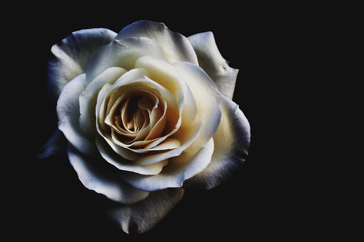 Black Rose Images Pixabay Download Free Pictures