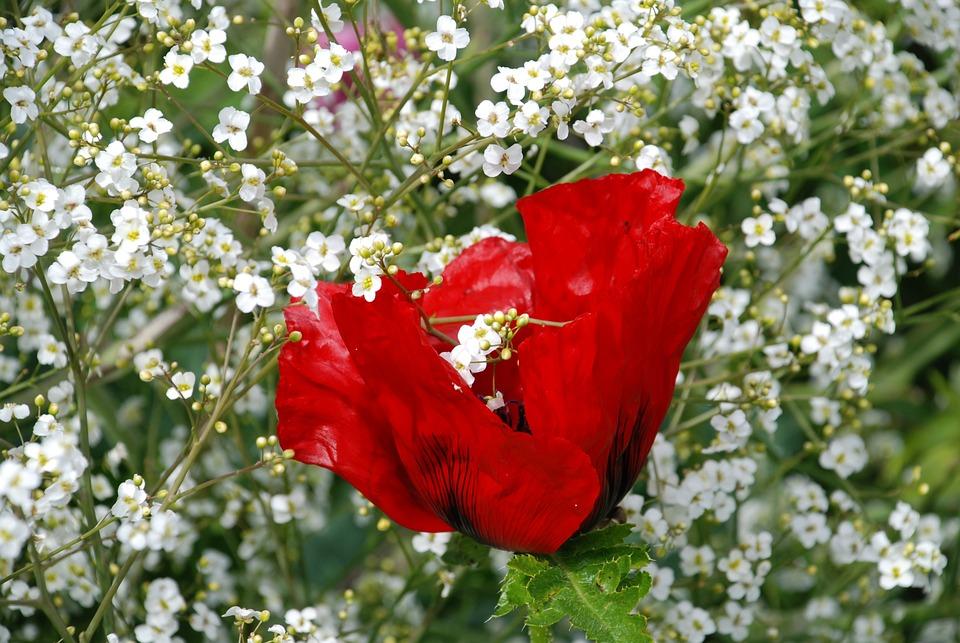 Blumen Rot Weiss Kostenloses Foto Auf Pixabay