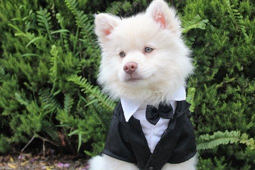 Dog, Puppy, Tux, Cute, Summer, Cream