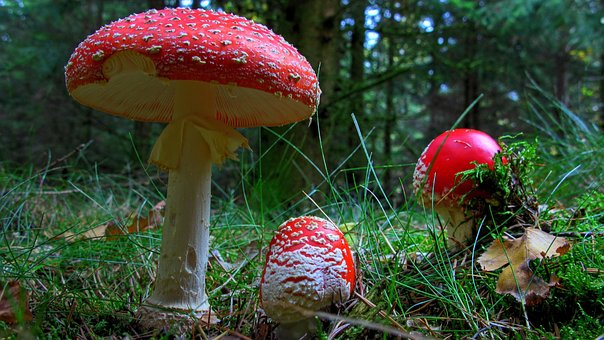 Fly Agaric Mushroom Forest Nature Red Fly