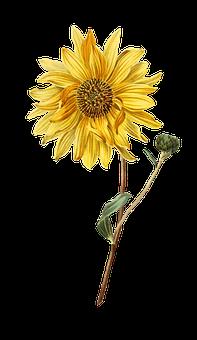 Girasol, Flor, Planta, Vintage, Aislado