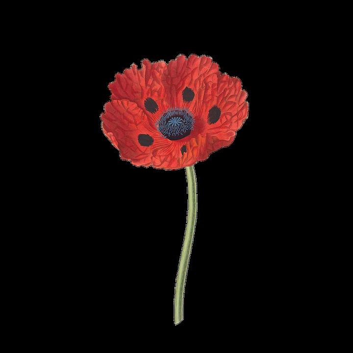 Poppy flower plant free image on pixabay poppy flower plant blossom bloom vintage isolated mightylinksfo