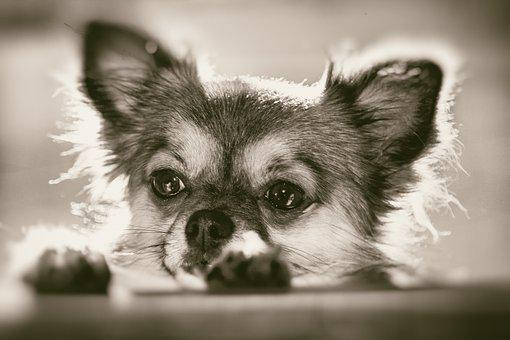 Chihuahua, Curious, Pet, Dog, Small
