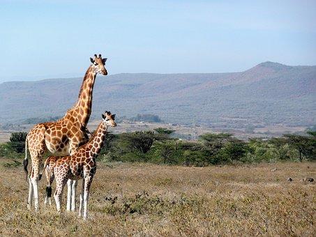 Giraffe, Kenya, Kigio, Africa, Animal