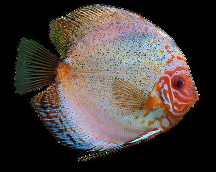 Pesci d 39 acquario immagini pixabay scarica immagini gratis for Pesce discus