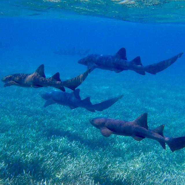 Free photo: Sharks, Ocean, Nurse Shark - Free Image on ...