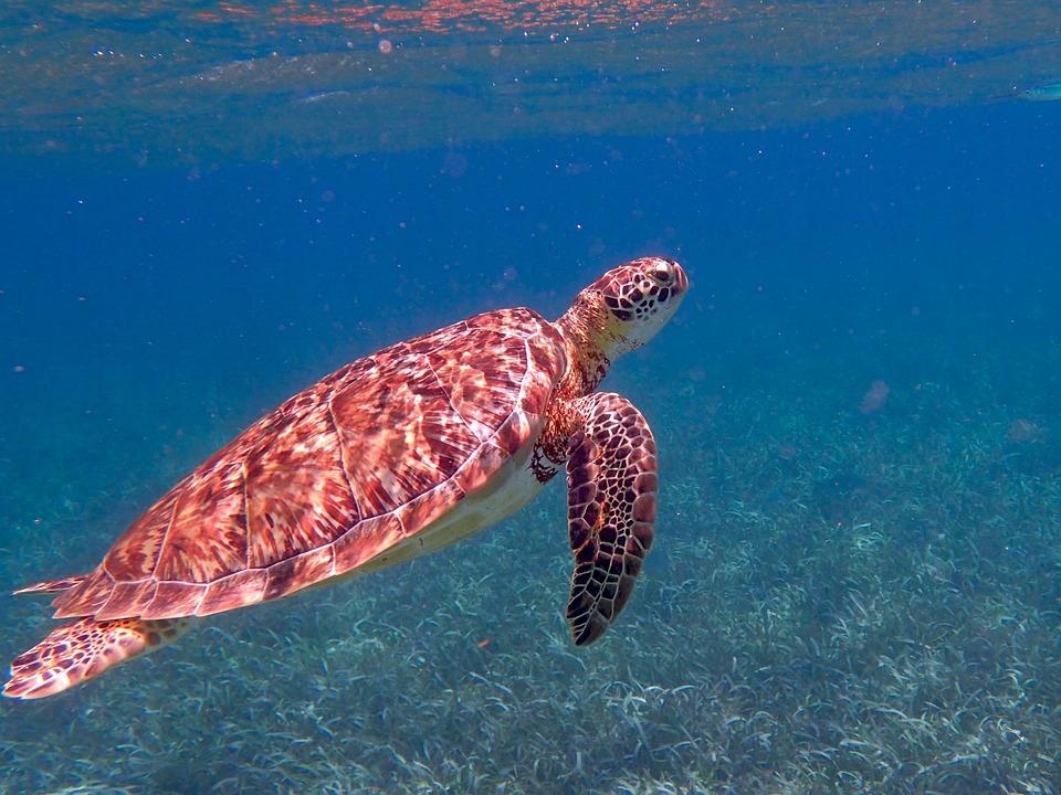 Żółw, Belize, Ocean, Tropikalny, Morze, Morskich