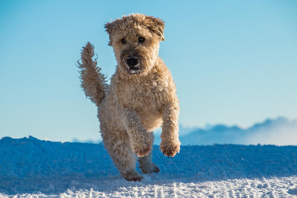 Dog, Jump, Play, Irish Soft Coated Wheaten Terrier,dogs breeds that start with s