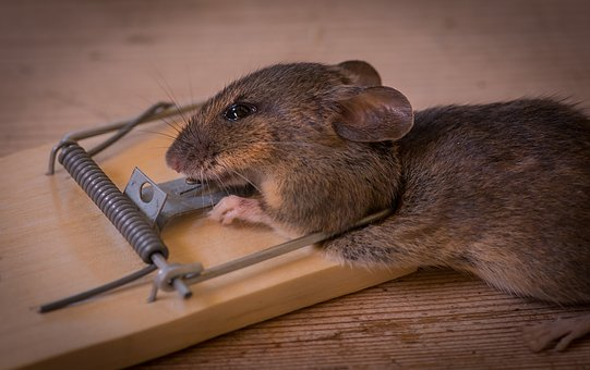 The Mouse Trap, Death, Caught, Animals